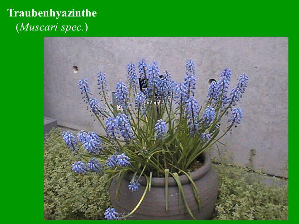 Purpurrote Taubnessel (Lamium purpureum) Zum Testat wahrscheinlich ohne Blüten!