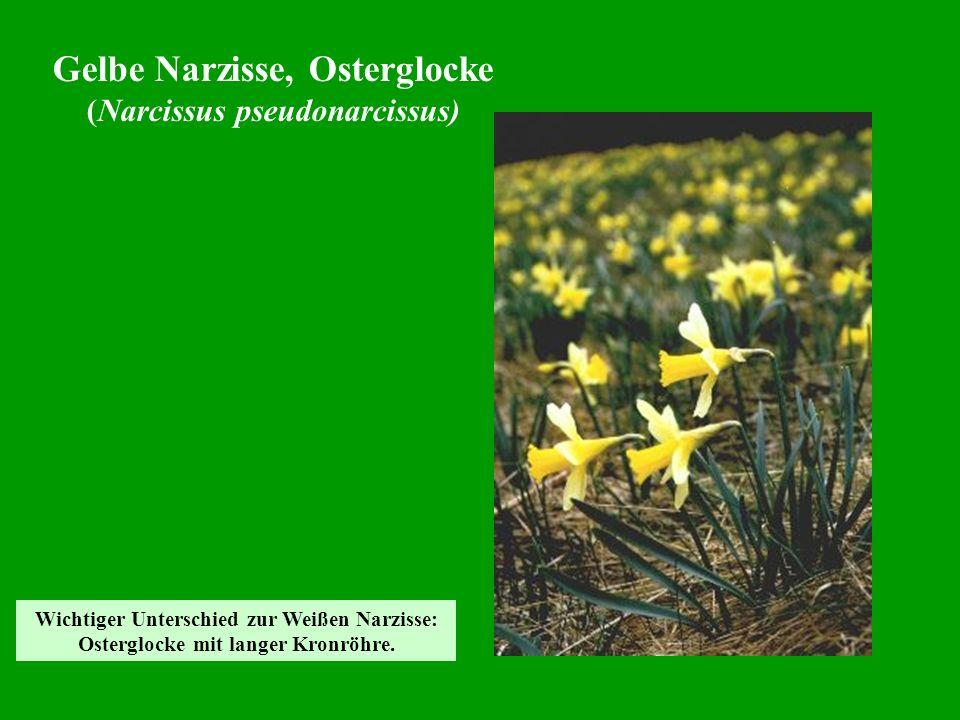 Gelbe Narzisse, Osterglocke (Narcissus pseudonarcissus) Wichtiger Unterschied zur Weißen Narzisse: Osterglocke mit langer Kronröhre.