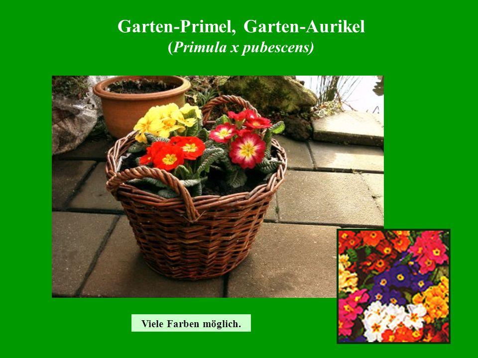 Garten-Primel, Garten-Aurikel (Primula x pubescens) Viele Farben möglich.