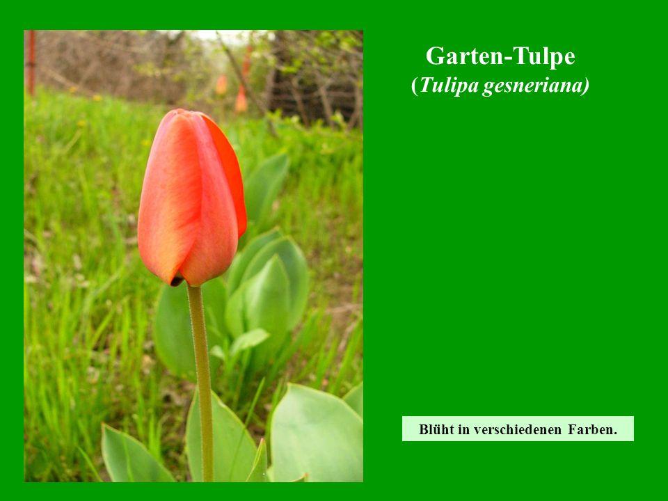 Blüht in verschiedenen Farben. Garten-Tulpe (Tulipa gesneriana)