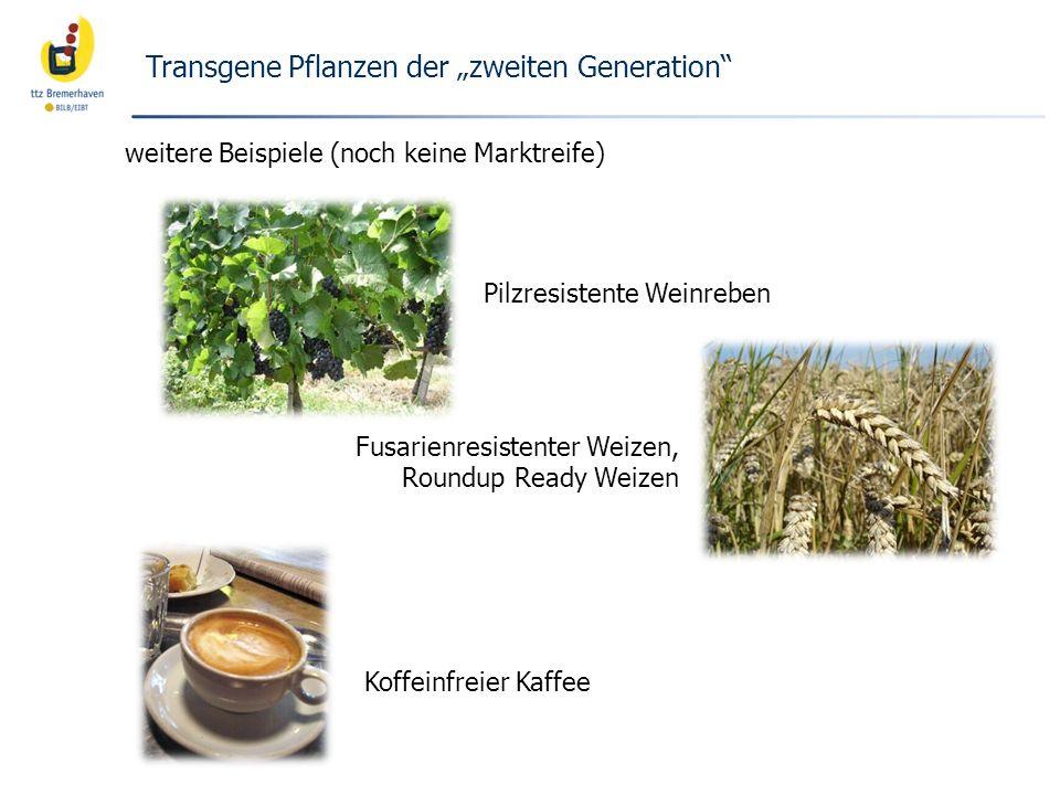 Fusarienresistenter Weizen, Roundup Ready Weizen Transgene Pflanzen der zweiten Generation weitere Beispiele (noch keine Marktreife) Pilzresistente We