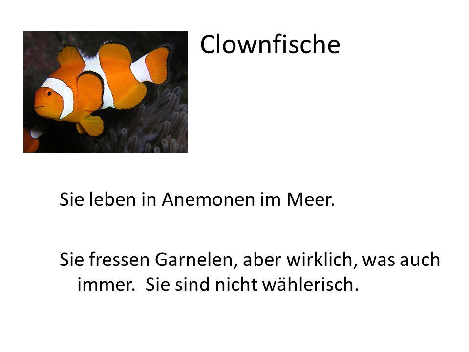 Clownfische Sie leben in Anemonen im Meer. Sie fressen Garnelen, aber wirklich, was auch immer. Sie sind nicht wählerisch.