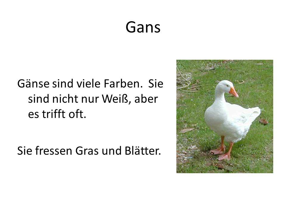 Gans Gänse sind viele Farben. Sie sind nicht nur Weiß, aber es trifft oft. Sie fressen Gras und Blätter.