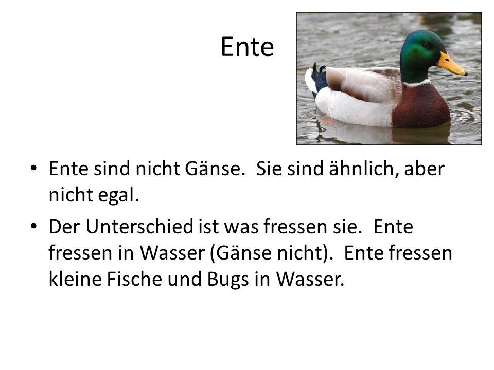 Ente Ente sind nicht Gänse. Sie sind ähnlich, aber nicht egal. Der Unterschied ist was fressen sie. Ente fressen in Wasser (Gänse nicht). Ente fressen