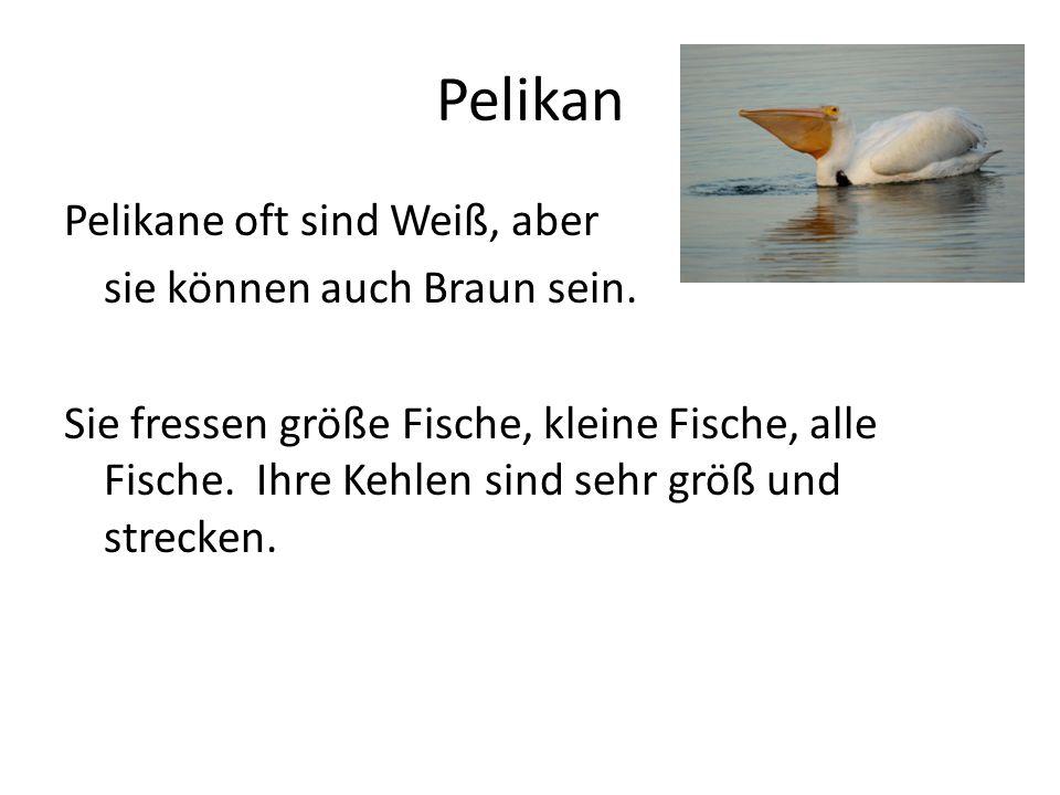 Pelikan Pelikane oft sind Weiß, aber sie können auch Braun sein. Sie fressen größe Fische, kleine Fische, alle Fische. Ihre Kehlen sind sehr größ und