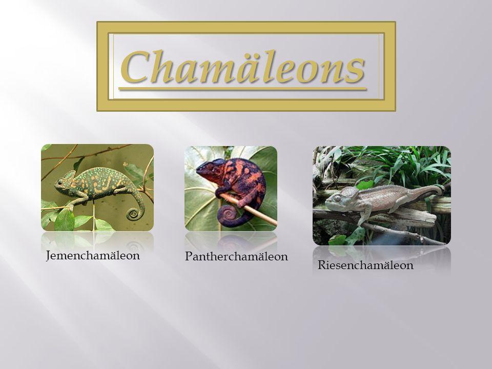 (1) Die Familie des Chamäleons (2) Besondere Körpermerkmale a) Augen b) Beine c) Der Beutefang beim Gewöhnlichen Chamäleon (Chamaeleo chamaeleon) d) Farbwechsel der Haut (3) Klassifizierung (4) Verbreitung (5) Quellen