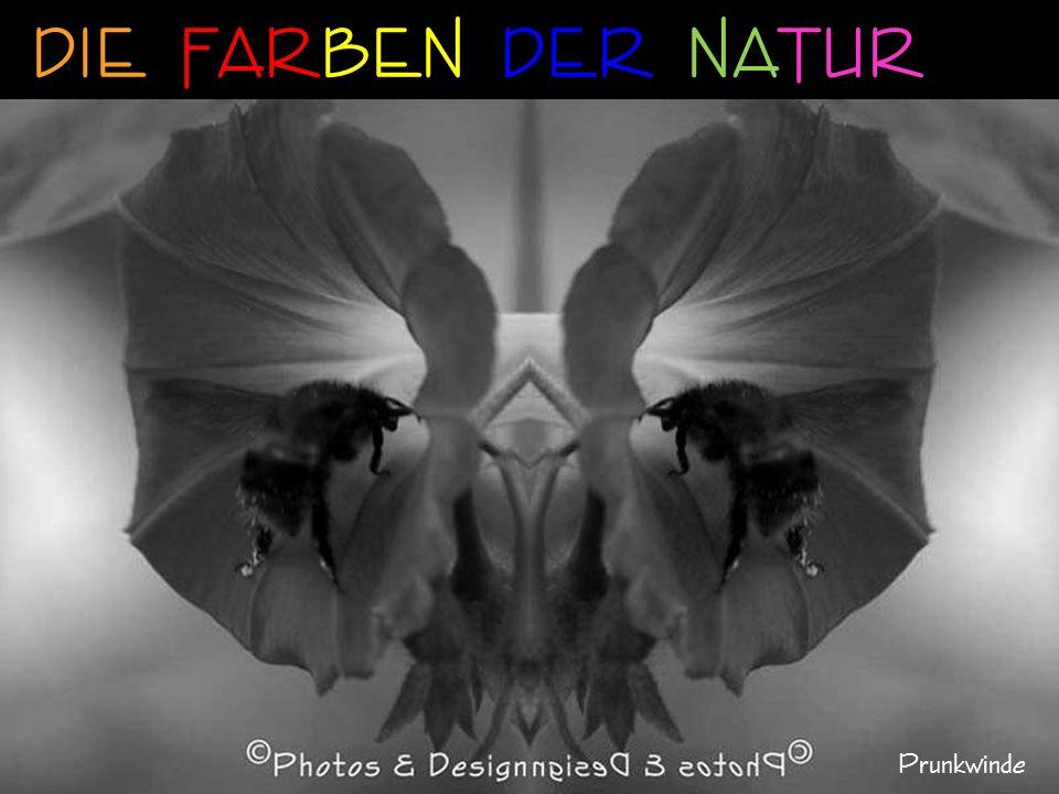 wie die Phantasie Sibirische Schwertlilie/Iris