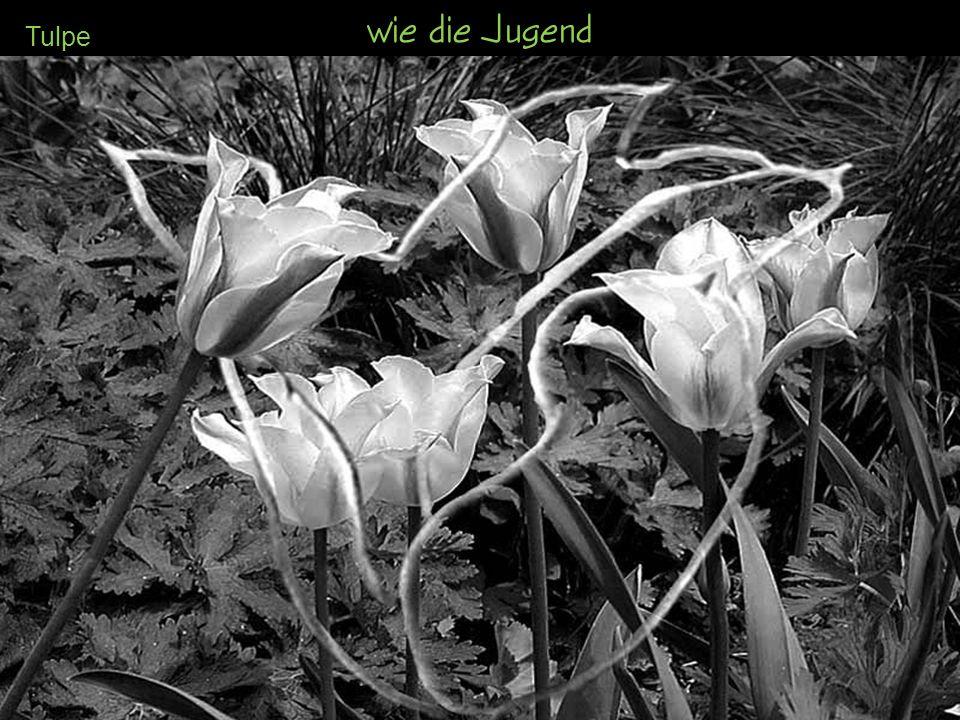 wie die Jugend Tulpe