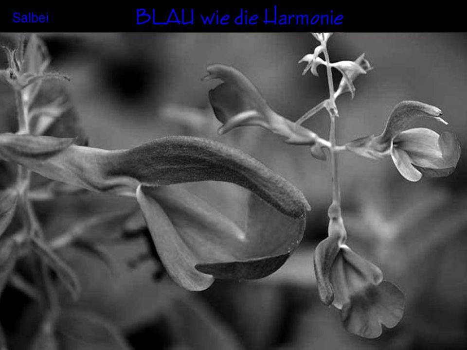 BLAU wie die Harmonie Salbei