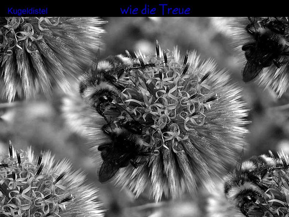 wie die Wärme Kokardenblume