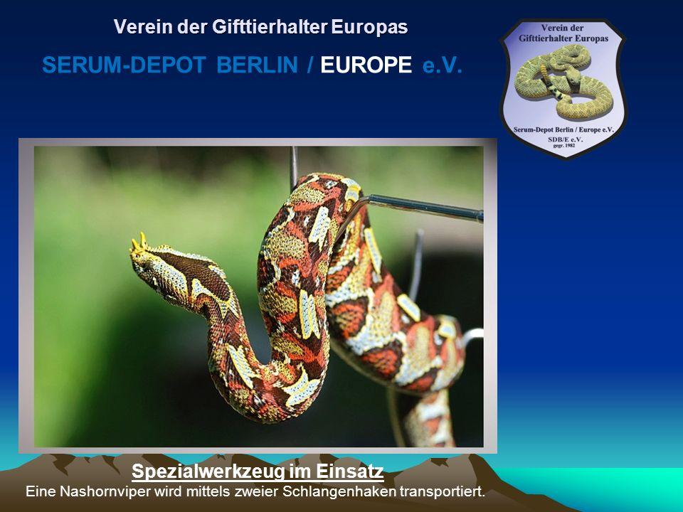 Spezialwerkzeug im Einsatz Eine Nashornviper wird mittels zweier Schlangenhaken transportiert. Verein der Gifttierhalter Europas SERUM-DEPOT BERLIN /