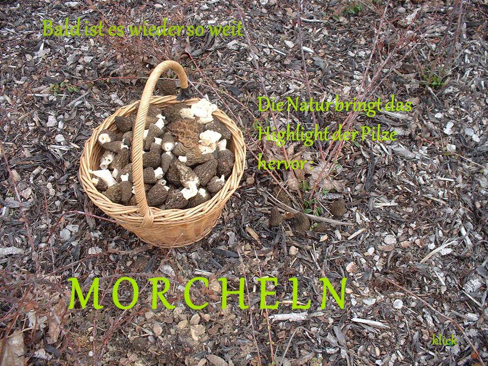 Bald ist es wieder so weit Die Natur bringt das Highlight der Pilze hervor : M O R C H E L N klick