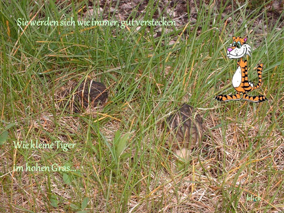 Sie werden sich wie immer, gut verstecken Wie kleine Tiger im hohen Gras... klick