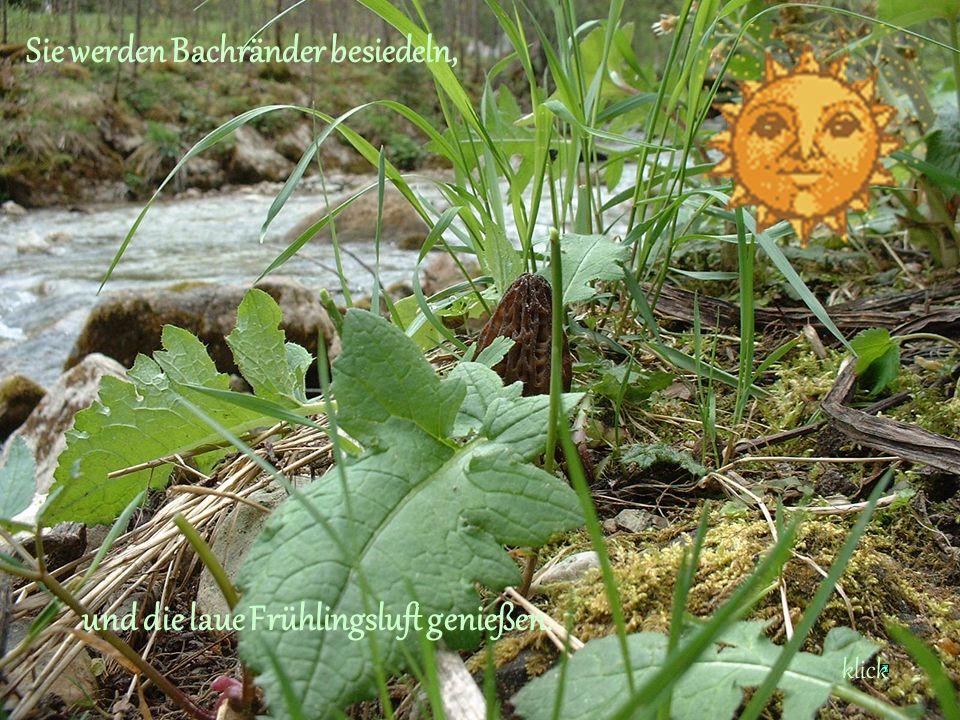 Sie werden Bachränder besiedeln, und die laue Frühlingsluft genießen. klick