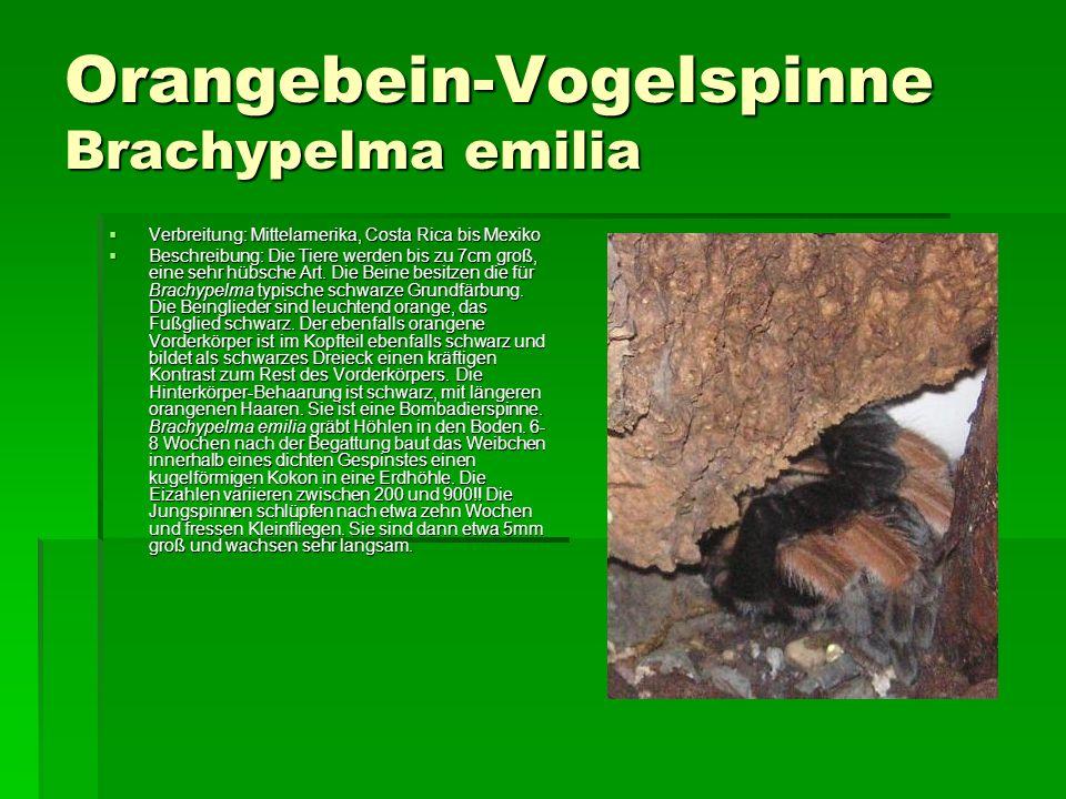 Orangebein-Vogelspinne Brachypelma emilia Verbreitung: Mittelamerika, Costa Rica bis Mexiko Verbreitung: Mittelamerika, Costa Rica bis Mexiko Beschrei