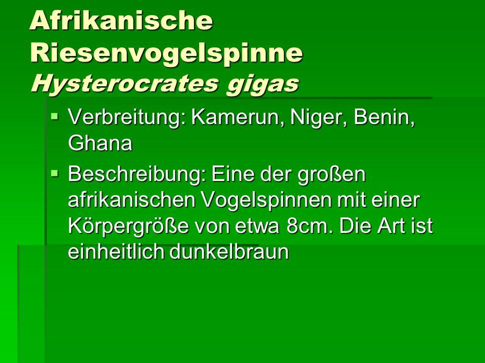 Afrikanische Riesenvogelspinne Hysterocrates gigas Verbreitung: Kamerun, Niger, Benin, Ghana Verbreitung: Kamerun, Niger, Benin, Ghana Beschreibung: E