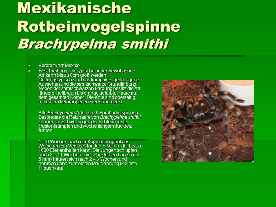 Mexikanische Rotbeinvogelspinne Brachypelma smithi Verbreitung: Mexiko Verbreitung: Mexiko Beschreibung: Die typische bodenbewohnende Art kann bis zu 8cm groß werden.