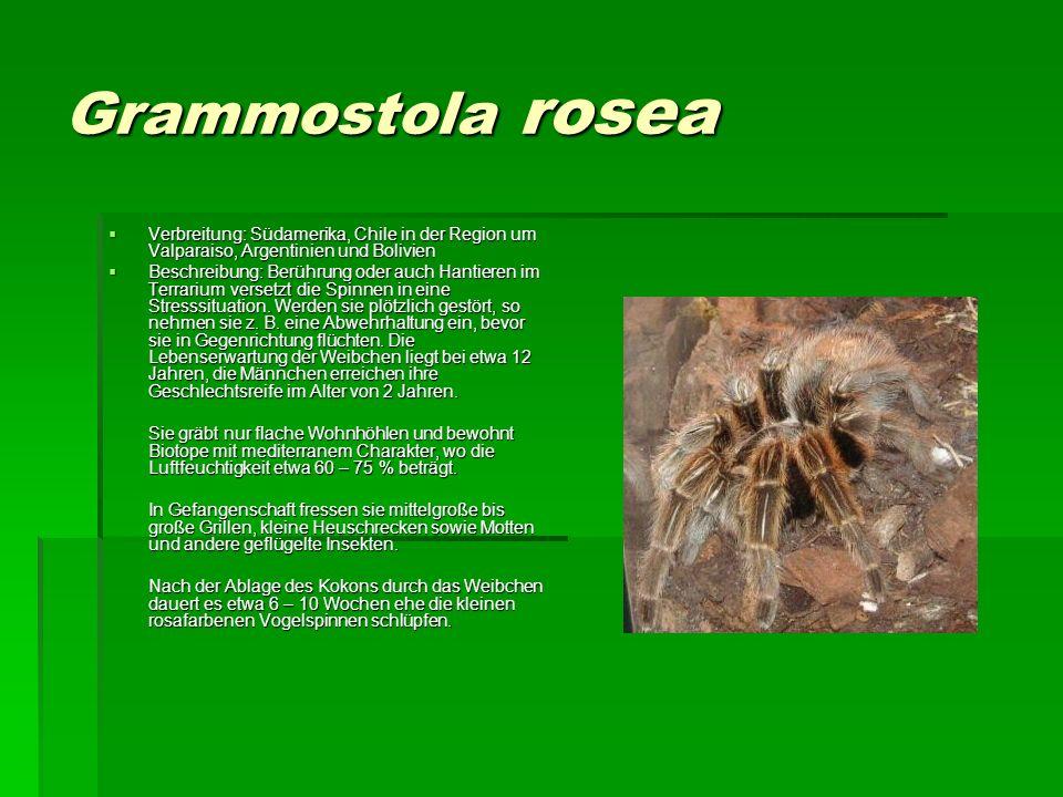 Grammostola rosea Verbreitung: Südamerika, Chile in der Region um Valparaiso, Argentinien und Bolivien Verbreitung: Südamerika, Chile in der Region um