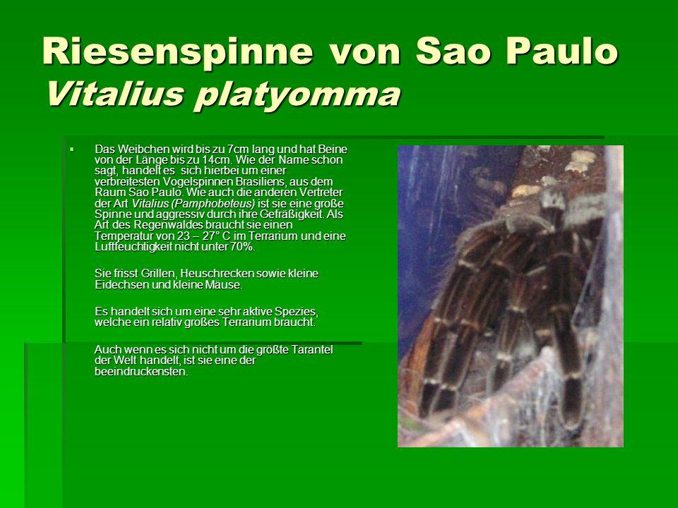 Riesenspinne von Sao Paulo Vitalius platyomma Das Weibchen wird bis zu 7cm lang und hat Beine von der Länge bis zu 14cm. Wie der Name schon sagt, hand