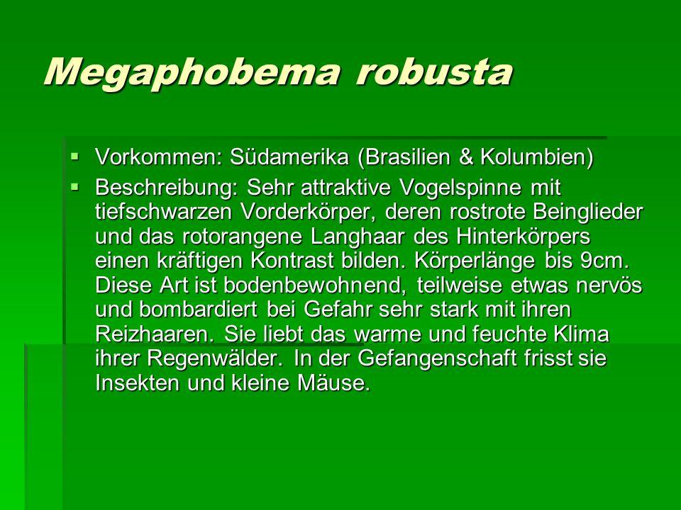 Megaphobema robusta Vorkommen: Südamerika (Brasilien & Kolumbien) Vorkommen: Südamerika (Brasilien & Kolumbien) Beschreibung: Sehr attraktive Vogelspi