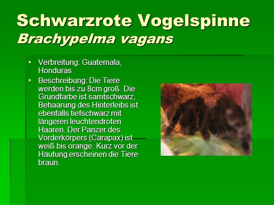 Schwarzrote Vogelspinne Brachypelma vagans Verbreitung: Guatemala, Honduras Verbreitung: Guatemala, Honduras Beschreibung: Die Tiere werden bis zu 8cm groß.