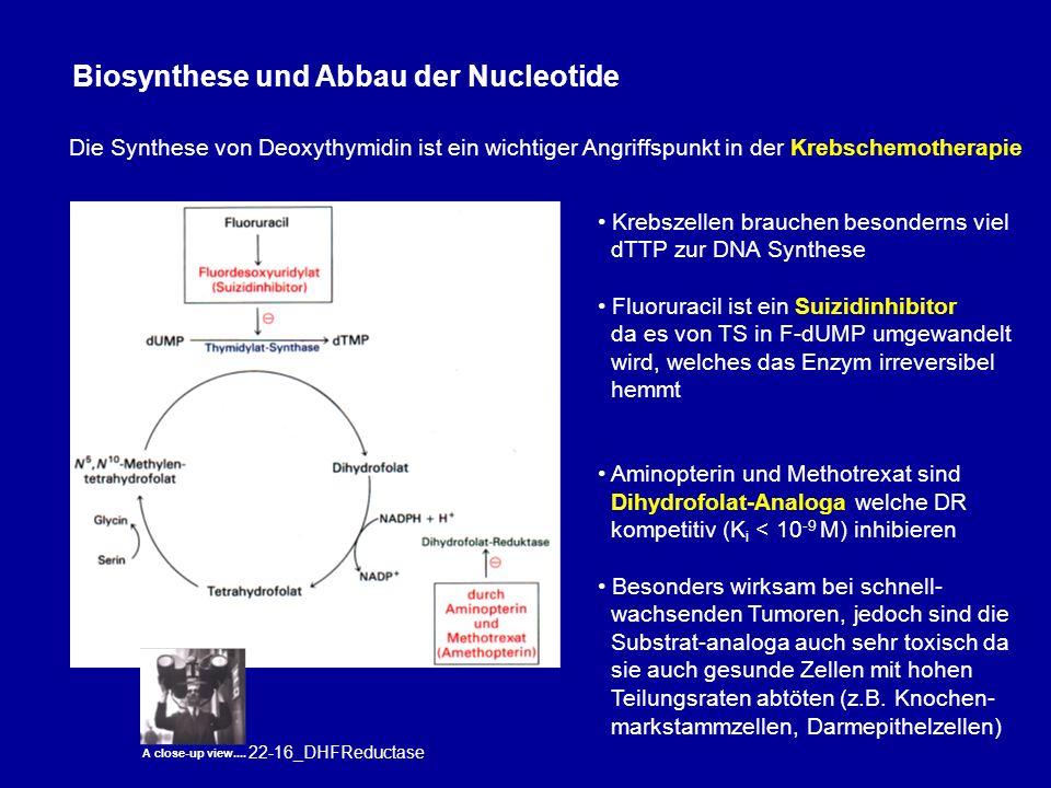Biosynthese und Abbau der Nucleotide Die Synthese von Deoxythymidin ist ein wichtiger Angriffspunkt in der Krebschemotherapie Krebszellen brauchen besonderns viel dTTP zur DNA Synthese Fluoruracil ist ein Suizidinhibitor da es von TS in F-dUMP umgewandelt wird, welches das Enzym irreversibel hemmt Aminopterin und Methotrexat sind Dihydrofolat-Analoga welche DR kompetitiv (K i < 10 -9 M) inhibieren Besonders wirksam bei schnell- wachsenden Tumoren, jedoch sind die Substrat-analoga auch sehr toxisch da sie auch gesunde Zellen mit hohen Teilungsraten abtöten (z.B.
