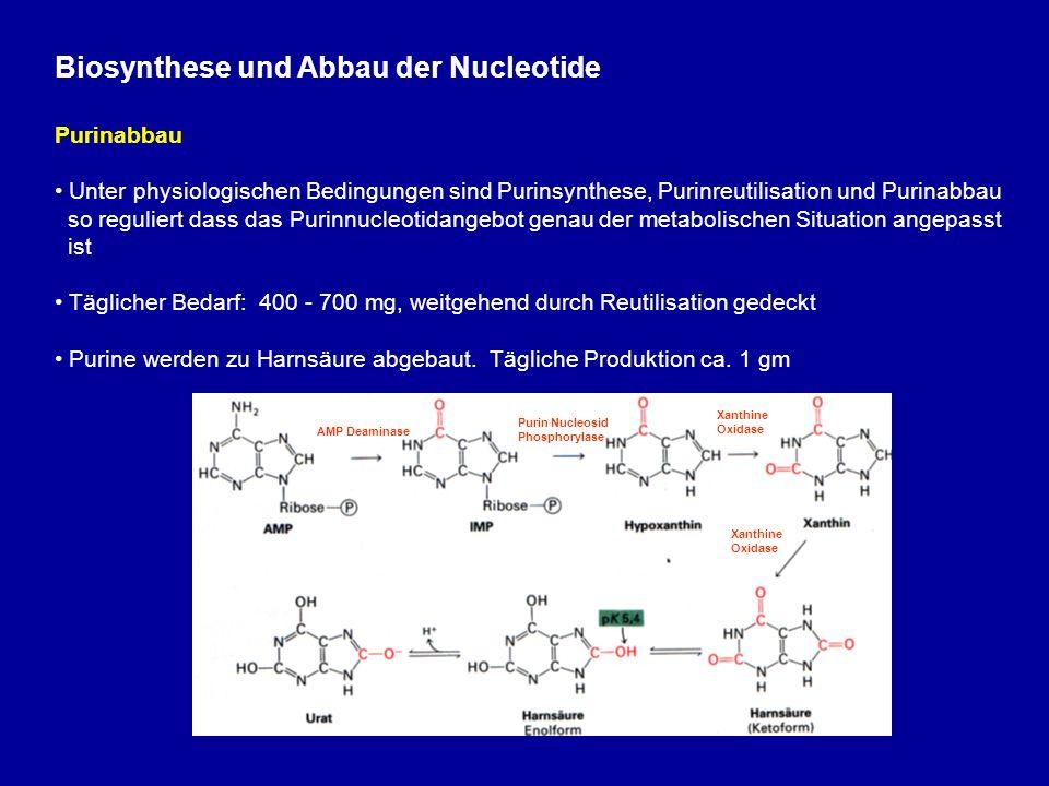Biosynthese und Abbau der Nucleotide Purinabbau Unter physiologischen Bedingungen sind Purinsynthese, Purinreutilisation und Purinabbau so reguliert dass das Purinnucleotidangebot genau der metabolischen Situation angepasst ist Täglicher Bedarf: 400 - 700 mg, weitgehend durch Reutilisation gedeckt Purine werden zu Harnsäure abgebaut.