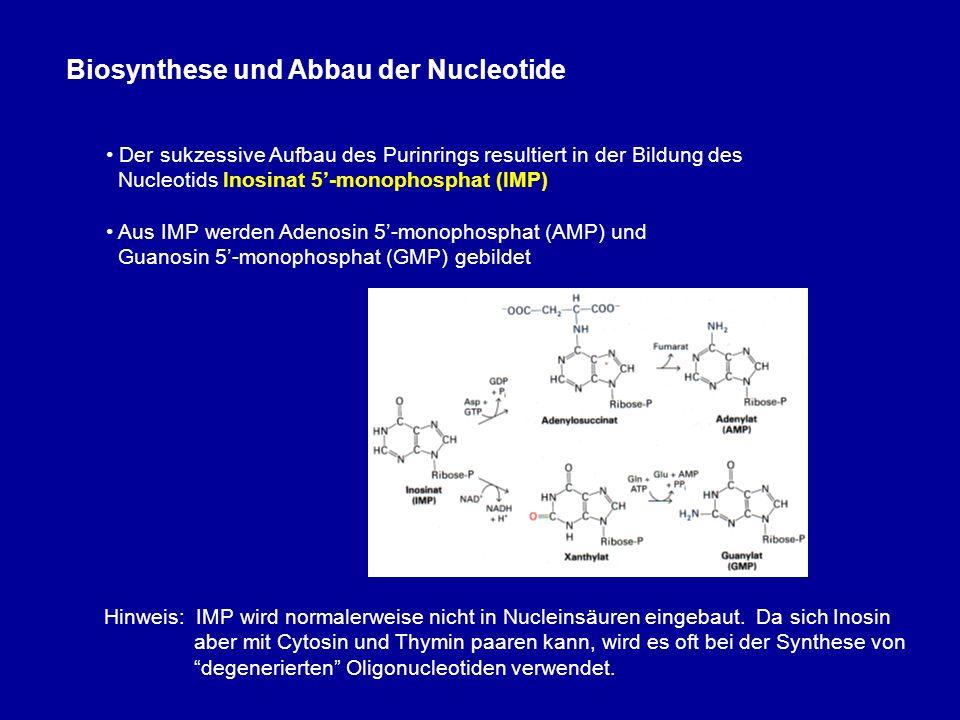 Biosynthese und Abbau der Nucleotide Der sukzessive Aufbau des Purinrings resultiert in der Bildung des Nucleotids Inosinat 5-monophosphat (IMP) Aus IMP werden Adenosin 5-monophosphat (AMP) und Guanosin 5-monophosphat (GMP) gebildet Hinweis: IMP wird normalerweise nicht in Nucleinsäuren eingebaut.