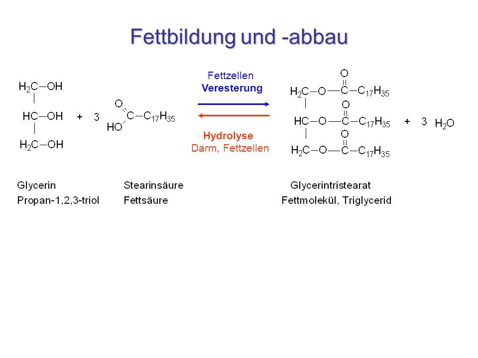 Fettbildung und -abbau Fettzellen Veresterung Hydrolyse Darm, Fettzellen