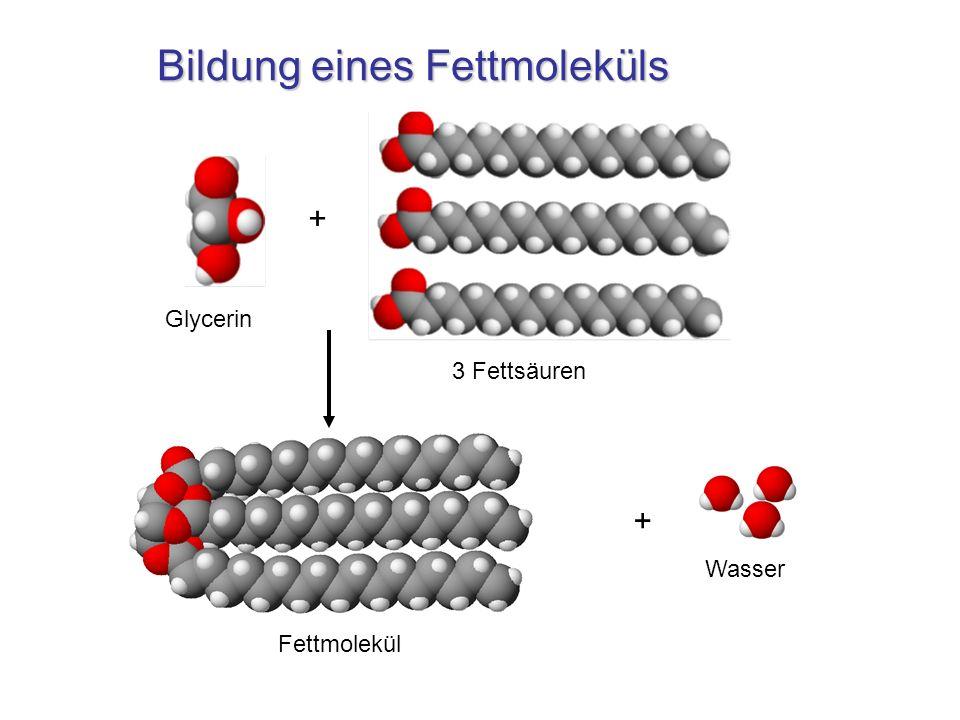 Bildung eines Fettmoleküls + Glycerin 3 Fettsäuren Fettmolekül Wasser +
