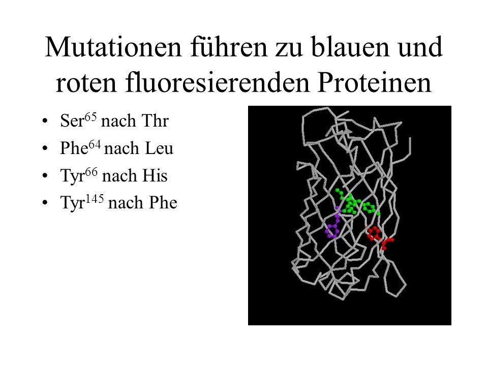 Mutationen führen zu blauen und roten fluoresierenden Proteinen Ser 65 nach Thr Phe 64 nach Leu Tyr 66 nach His Tyr 145 nach Phe