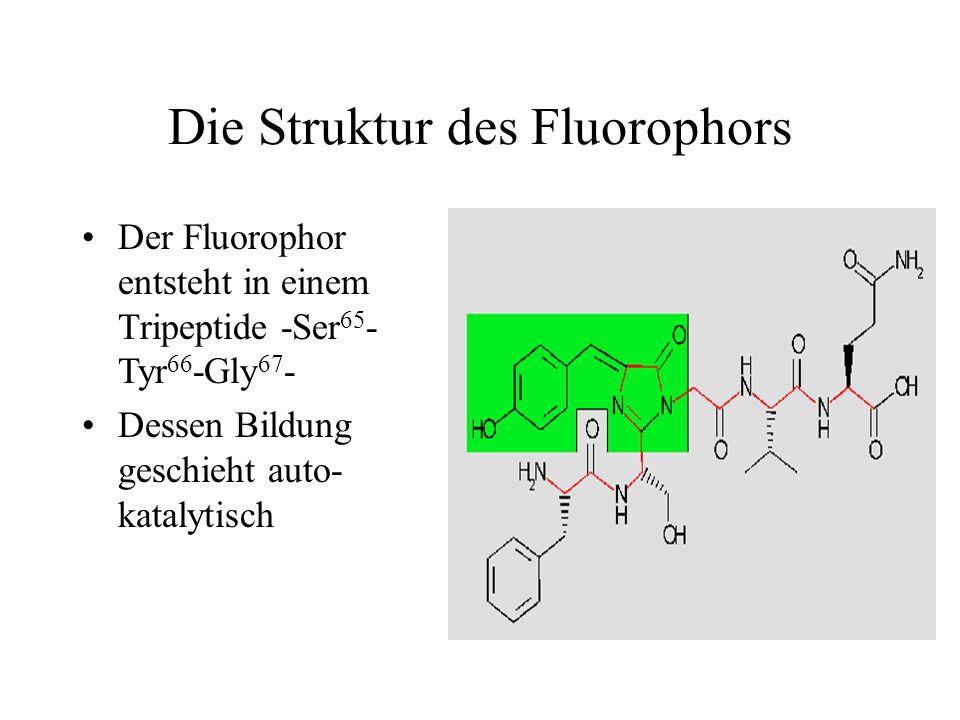 Die Struktur des Fluorophors Der Fluorophor entsteht in einem Tripeptide -Ser 65 - Tyr 66 -Gly 67 - Dessen Bildung geschieht auto- katalytisch