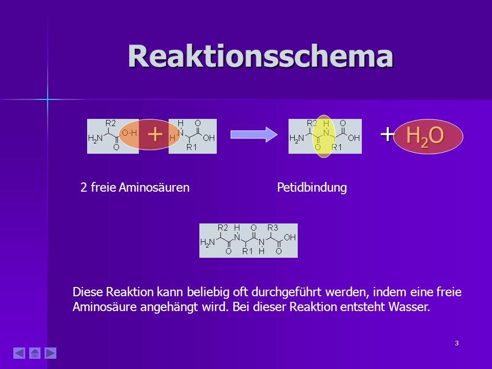 3 Reaktionsschema ++ H2OH2OH2OH2O 2 freie AminosäurenPetidbindung Diese Reaktion kann beliebig oft durchgeführt werden, indem eine freie Aminosäure angehängt wird.