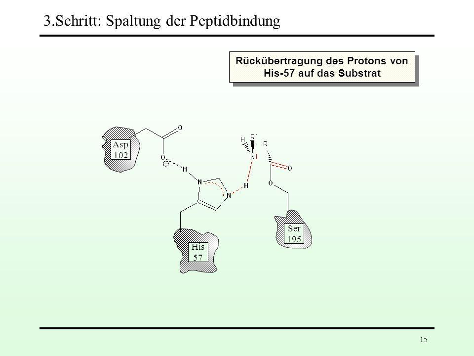 14 Asp 102 His 57 Ser 195 3.Schritt: Spaltung der Peptidbindung
