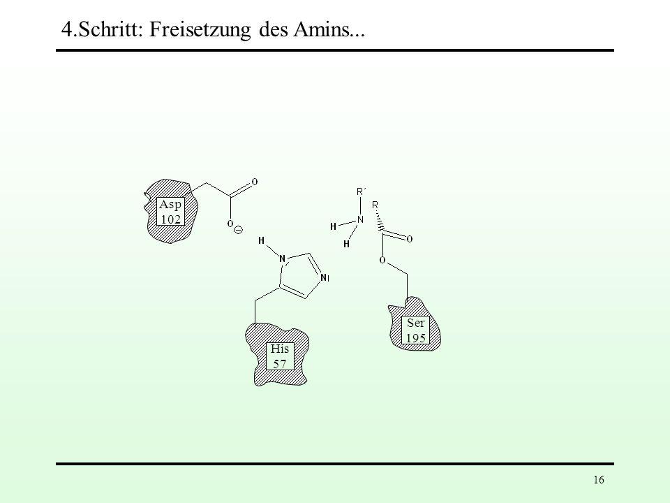 15 Asp 102 His 57 Ser 195 3.Schritt: Spaltung der Peptidbindung Rückübertragung des Protons von His-57 auf das Substrat