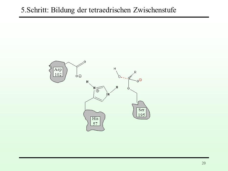 Asp 102 His 57 Ser 195 Asp 102 His 57 Ser 195 5.Schritt: Bildung der tetraedrischen Zwischenstufe Erneute Protonenübertragung auf His-57 erhöht die Nu