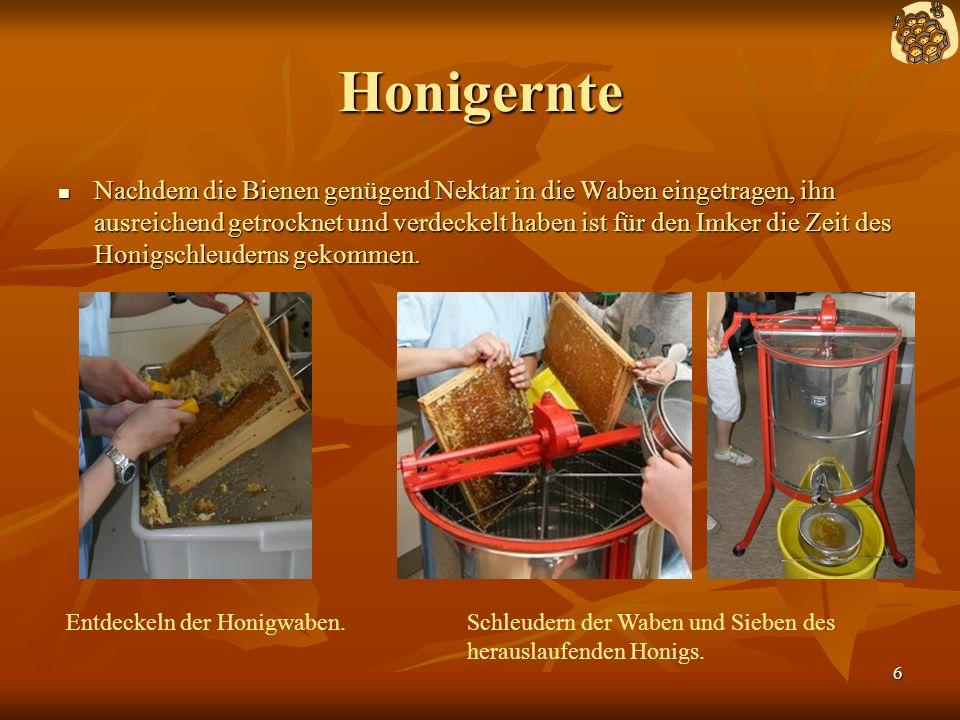 6 Honigernte Nachdem die Bienen genügend Nektar in die Waben eingetragen, ihn ausreichend getrocknet und verdeckelt haben ist für den Imker die Zeit des Honigschleuderns gekommen.