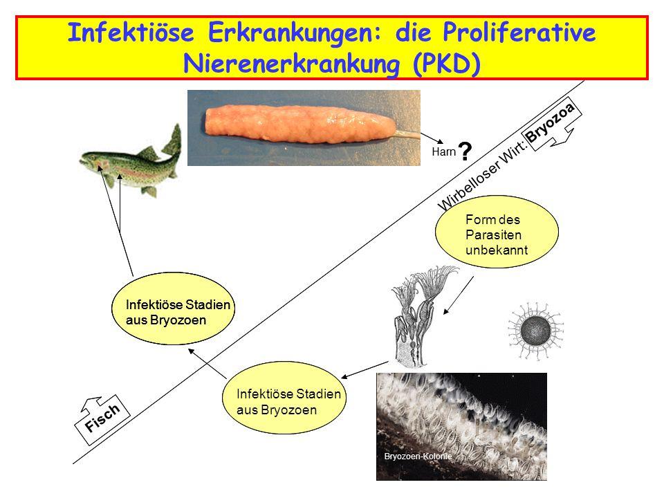 Infektiöse Erkrankungen: die Proliferative Nierenerkrankung (PKD) Infektiöse Stadien aus Bryozoen Wirbelloser Wirt: - Harn .