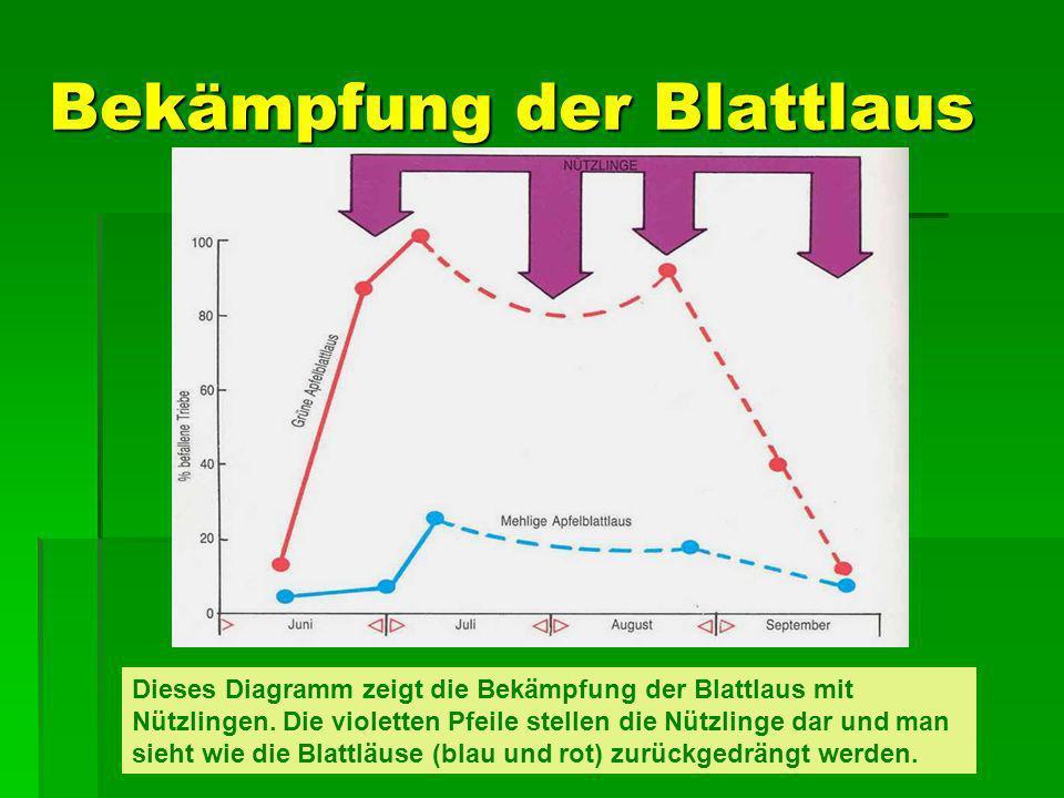 Bekämpfung der Blattlaus Dieses Diagramm zeigt die Bekämpfung der Blattlaus mit Nützlingen. Die violetten Pfeile stellen die Nützlinge dar und man sie