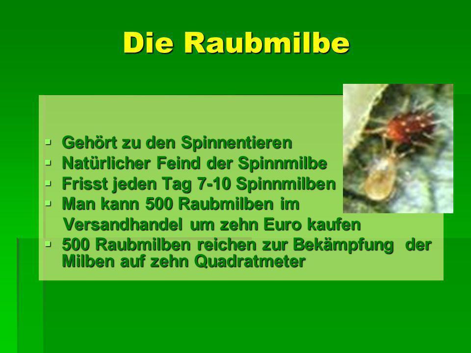 Die Raubmilbe Gehört zu den Spinnentieren Gehört zu den Spinnentieren Natürlicher Feind der Spinnmilbe Natürlicher Feind der Spinnmilbe Frisst jeden T