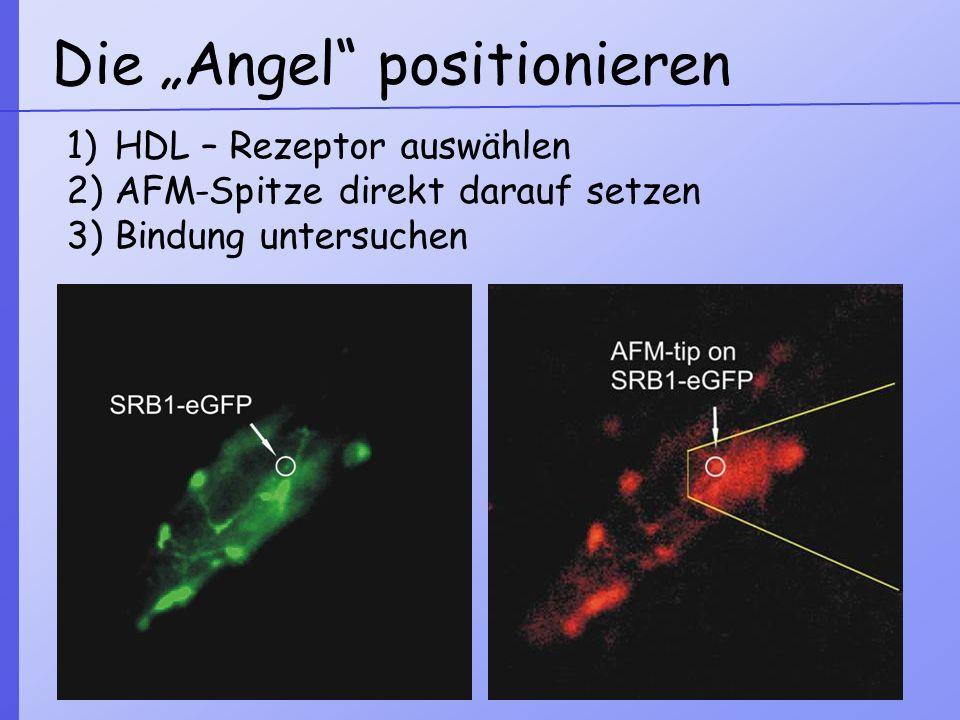 Die Angel positionieren 1)HDL – Rezeptor auswählen 2)AFM-Spitze direkt darauf setzen 3)Bindung untersuchen