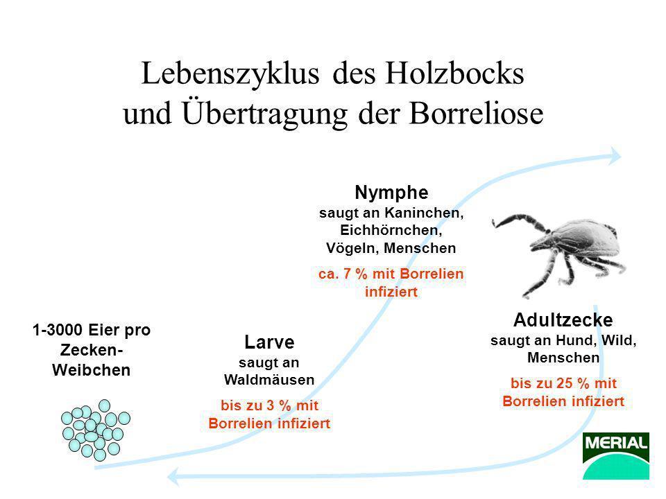 Lebenszyklus des Holzbocks und Übertragung der Borreliose 1-3000 Eier pro Zecken- Weibchen Larve saugt an Waldmäusen bis zu 3 % mit Borrelien infizier