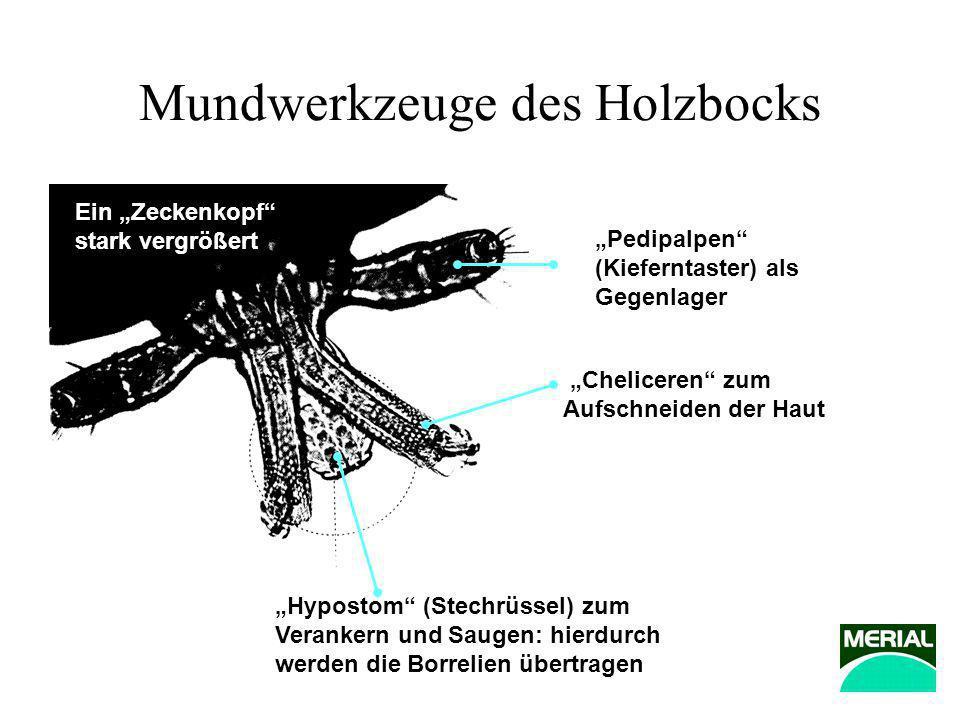 Mundwerkzeuge des Holzbocks Hypostom (Stechrüssel) zum Verankern und Saugen: hierdurch werden die Borrelien übertragen Pedipalpen (Kieferntaster) als