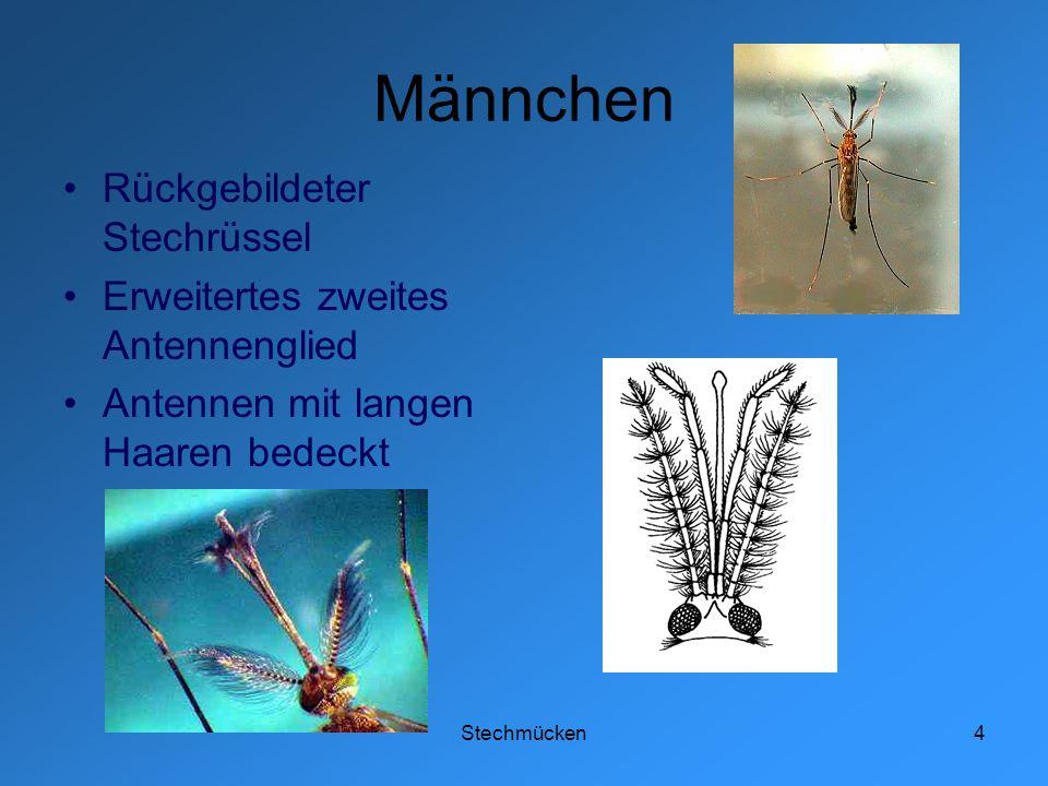 Stechmücken4 Männchen Rückgebildeter Stechrüssel Erweitertes zweites Antennenglied Antennen mit langen Haaren bedeckt