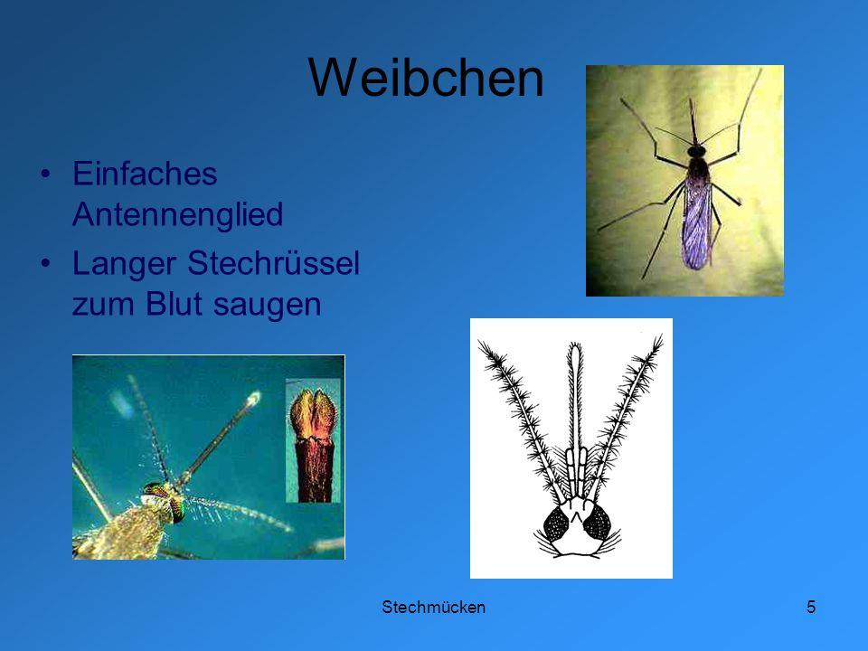 Stechmücken6 Vorkommen Überall, ausser: Arktis, Wüsten, Höhenlagen Vor allem an Wasserstellen