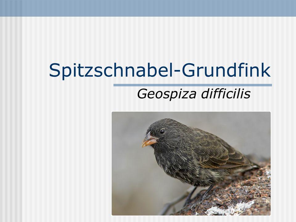 Spitzschnabel-Grundfink Geospiza difficilis