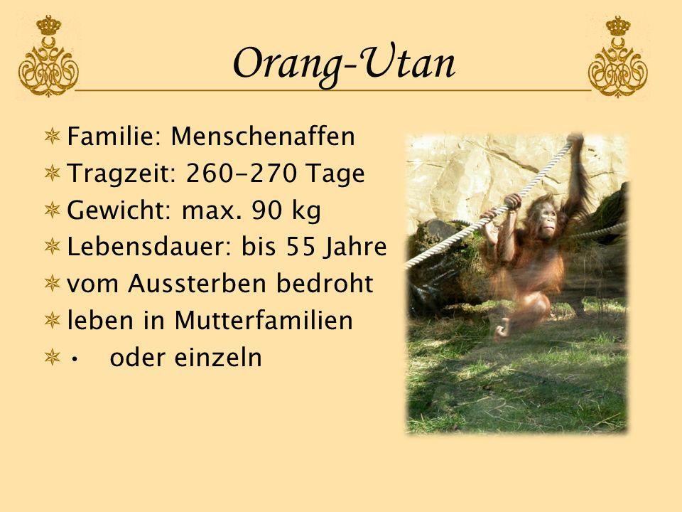 Orang-Utan Familie: Menschenaffen Tragzeit: 260-270 Tage Gewicht: max. 90 kg Lebensdauer: bis 55 Jahre vom Aussterben bedroht leben in Mutterfamilien