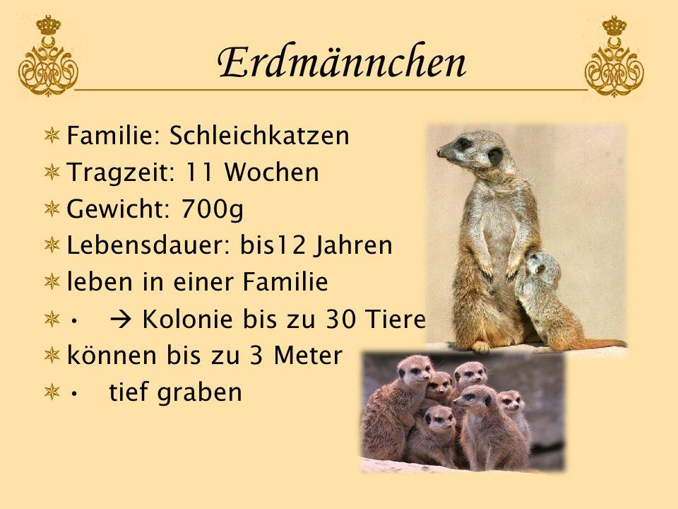Erdmännchen Familie: Schleichkatzen Tragzeit: 11 Wochen Gewicht: 700g Lebensdauer: bis12 Jahren leben in einer Familie Kolonie bis zu 30 Tiere können
