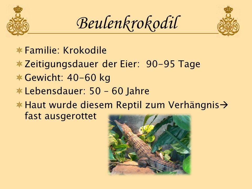 Beulenkrokodil Familie: Krokodile Zeitigungsdauer der Eier: 90-95 Tage Gewicht: 40-60 kg Lebensdauer: 50 – 60 Jahre Haut wurde diesem Reptil zum Verhä