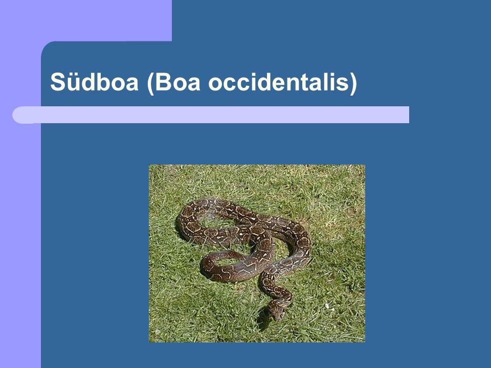 Südboa (Boa occidentalis)